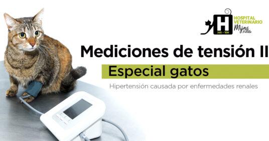 Mediciones de Tensión II: Hipertensión en gatos causadas por enfermedades renales